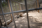 Remi OCHLIK/IP3 PRESS - On august, 28, 2011 In Tripoli - In Tripoli s zoo can be seen Hillal, the Saadi Qaddafi lion