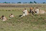 African lions & lechwe, Okavango, Botswana