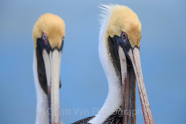 Adult Brown Pelican (Pelecanus occidentalis) in basic plumage. Yucatan, Mexico. February.