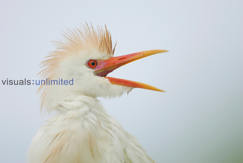 Cattle Egret in breeding plumage with its mouth open, Southern USA.