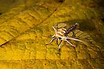 Tiger Moth (Balacra rubrostriata), Kibale National Park, western Uganda