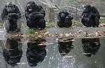 Foto: VidiPhoto..ARNHEM - De chimpansees van Burgers' Zoo in Arnhem wachten ongeduldig tussen de gevallen herfstbladeren tot ze gevoerd worden. De kolonie, die uit meer dan twintig dieren bestaat, mag vanaf dit moment zelf beslissen of ze binnen blijft of naar buiten gaat. Als de temperatuur verder daalt zijn de mensapen tot de lente voornamelijk nog maar in de verwarmde binnenverblijven te bewonderen.