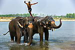 An agile mahout leaps from one of his charges to the next.  Mahouts form deep bonds of friendship and trust with their elephants.