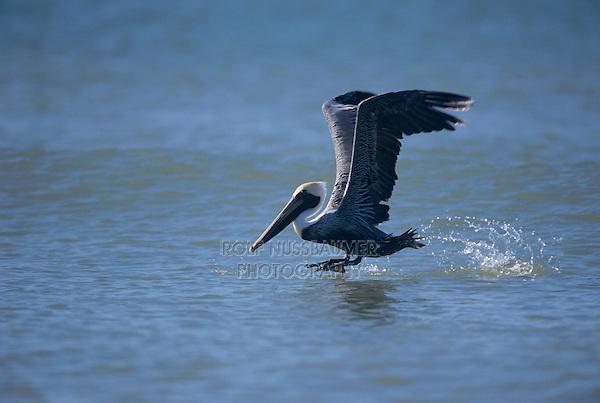 Brown Pelican, Pelecanus occidentalis,adult taking off, Sanibel Island, Florida, USA