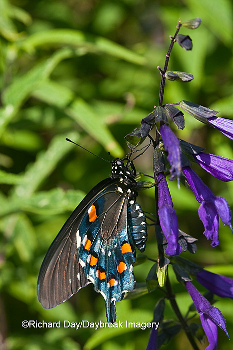 03004-01201 Pipevine Swallowtail Butterfly (Battus philenor) male on Black & Blue Salvia (Salvia guaranitica) Marion Co., IL