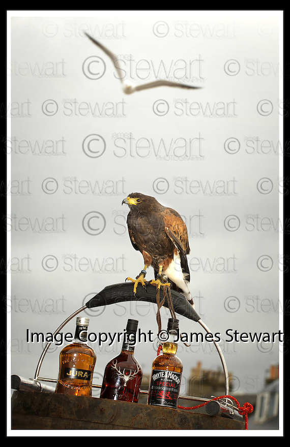 27/08/2008  Copyright Pic: James Stewart.File Name : sct_jspa03_hawk.MASON THE HAWK WHO HAS BEEN EMPLOYED AT THE WHYTE & MACKAY BOTTLING PLANT TO SCARE AWAY SEAGULLS WHO HAVE NESTED ON THE ROOF OF THE PLANT AND HAVE BEEN ATTACKING LOCAL RESIDENTS......James Stewart Photo Agency 19 Carronlea Drive, Falkirk. FK2 8DN      Vat Reg No. 607 6932 25.James Stewart Photo Agency 19 Carronlea Drive, Falkirk. FK2 8DN      Vat Reg No. 607 6932 25.Studio      : +44 (0)1324 611191 .Mobile      : +44 (0)7721 416997.E-mail  :  jim@jspa.co.uk.If you require further information then contact Jim Stewart on any of the numbers above........