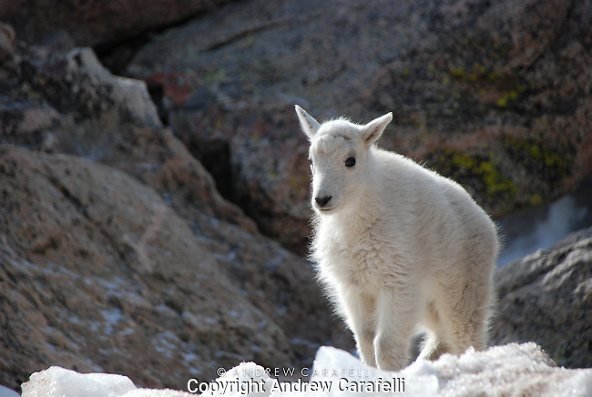 "A baby Mountain Goat- or ""Kid"" , stands atop snow still lingering atop 14,000 foot Mt. Evans in Colorado  in June."