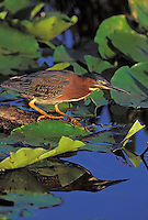 Green Heron. Everglades National Park, Florida. U.S.A. (Butorides striatus).