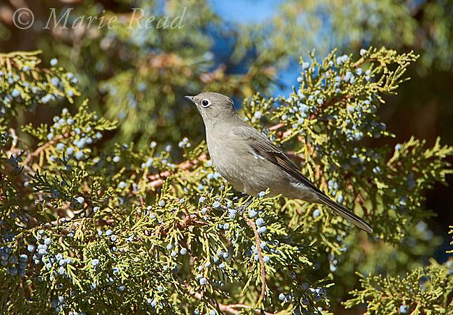 Townsend's Solitaire (Myadestes townsendi), perched on Western Juniper in autumn, Mono Lake Basin, California, USA
