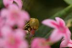 White-lined Sphinx Caterpillar, Hummingbird Moth Caterpillar, Hyles lineata, Southern California