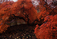 Brilliant fall colors of Japanese maples on the Biltmore Estate.