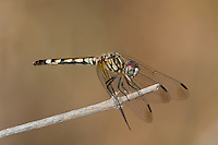 338600002 a wild female thornbush dasher dragonfly micrathyria hagenii perches on a dead twig hornsby bend travis county texas