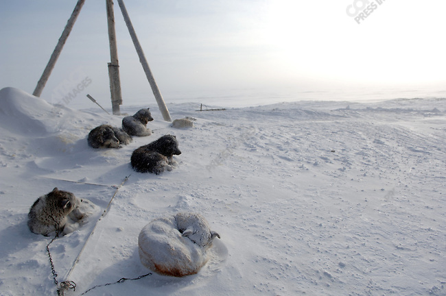 Dogs from sled teams of hunters from the Artic village of Nutepelmen rested in the snow on the edge of the village of Vankarem. Chukotka Autonomous Okrug, Russia, April 7, 2007.