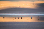 Andean flamingos flying low over a salt lake in the Altiplano, Bolivia
