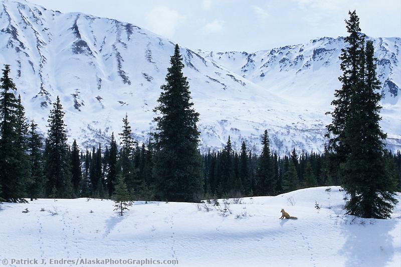 Red fox, Alaska mountain range, Denali State Park, Alaska