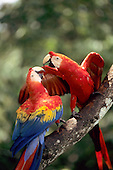 Amazon, Brazil. Pair of Scarlet Macaws (Ara macao) on a branch.