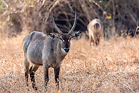 africa, Zambia, South Luangwa National Park, Eland, Kobus ellipsiprymnus