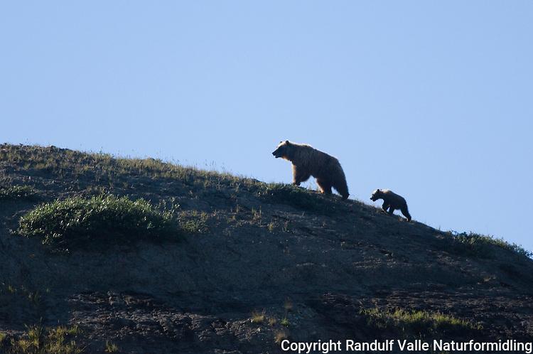 Grizzlybjørn (Ursus arctos) ---- Grizzly bear
