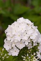 Phlox paniculata David (white)