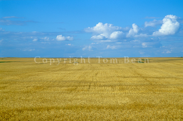 Vast wheat field on the Great Plains in Williams County, North Dakota, AGPix_0352.