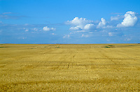 Vast wheat field on the Great Plains in Williams County, North Dakota, AGPix_0352.