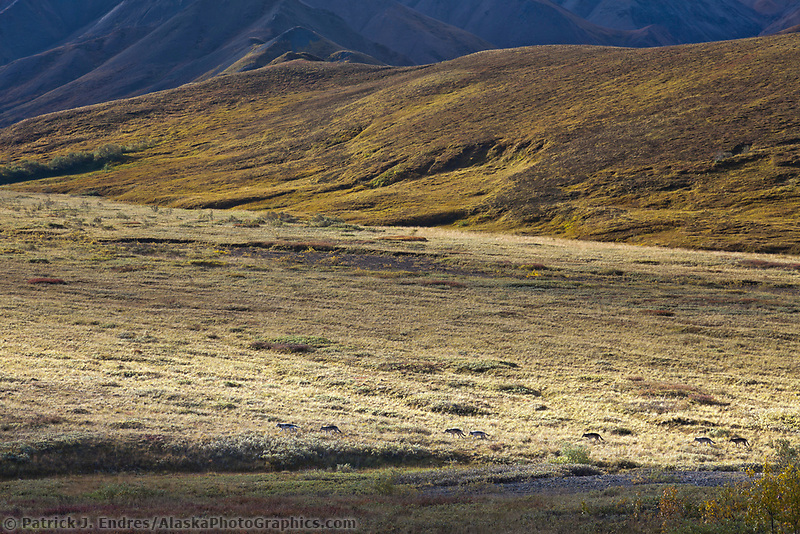 Seven animals of the Grant creek wolf pack travels the autumn tundra in Highway pass, Denali National park, interior, Alaska