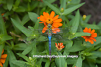 06361-006.08 Common Green Darner (Anax junius) male on Orange Profusion Zinnia, Marion Co.  IL