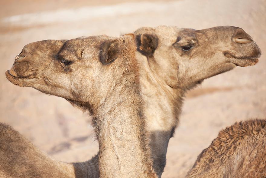 Two dromedaries (camel) in the Sahara desert.