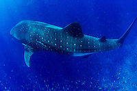 A giant Whale Shark (Rhincodon typus) swims underwater near Darwin Island in the Galapagos Islands of Ecuador.