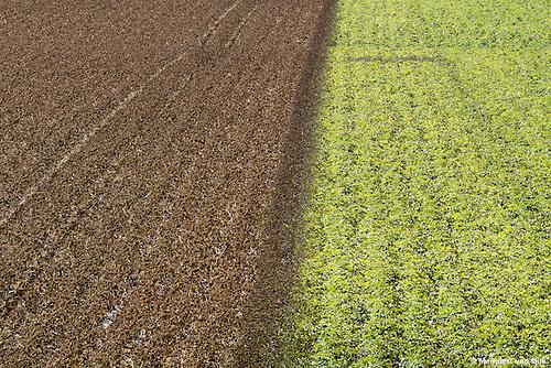 Aardappelteelt langs de Waddenzeedijk bij Nieuwebildtzijl. Voorafgaand aan de oogst is het loof doodgespoten.