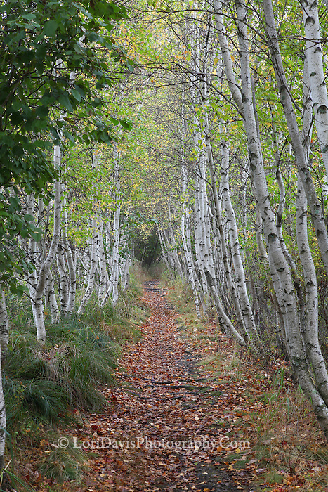 Birch Path, Acadia #A85