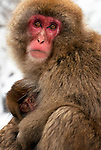 A mother snow monkey (Japanese Macaque) living in the wild near Nagano, Japan, warms her baby in extremely cold weather.