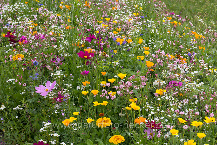 """Blumenwiese, Wildblumenwiese, Wildblumen-Wiese, Blumenmischung, Wildblumen, Blumenmischung """"Werratal"""", Insektenschutz, wildflower meadow"""
