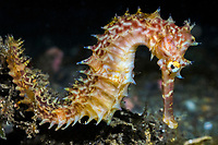 Thorny seahorse (Hippocampus histrix). Lembeh Strait, Celebes Sea, North Sulawesi, Indonesia,