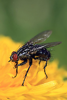 Side view of a black fly with red eyes on a yellow flower on a blurred green background