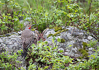 A flicker explores the ground looking for bugs.