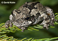 1219-1001  Eastern Gray Treefrog (Grey Tree Frog), Hyla versicolor  © David Kuhn/Dwight Kuhn Photography