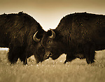 Two Bison battle for dominance in Grand Teton National Park, Jackson Hole, Wyoming.