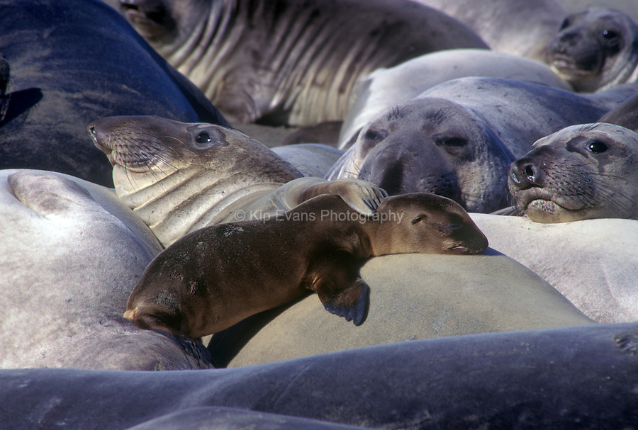 Female elephant seal adopts a California sea lion pup.