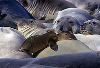Female elephant seal adopts a California sea lion pup.