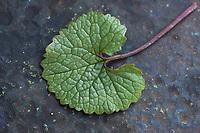 Gewöhnliche Knoblauchsrauke, Knoblauchsrauke, Knoblauchrauke, Knoblauch-Rauke, Knoblauchs-Rauke, Lauchkraut, Knoblauchskraut, Knoblauchhederich, Knoblauchshederich, junge, zarte Blätter vor der Blüte, Alliaria petiolata, Hedge Garlic, Jack-by-the-Hedge, Garlic Mustard, garlic root, Alliaire, L'Alliaire officinale, Herbe à ail. Blatt, Oberseite, Blattoberseite, Blätter, leaf, leaves