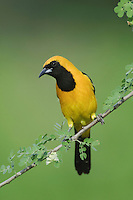 Hooded Oriole, Icterus cucullatus, male on Catclaw (Acacia greggii), Willacy County, Rio Grande Valley, Texas, USA