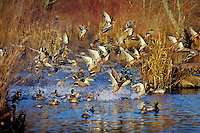 Mallard Ducks flushing or jumping.  Late Fall.  Pacific Northwest.