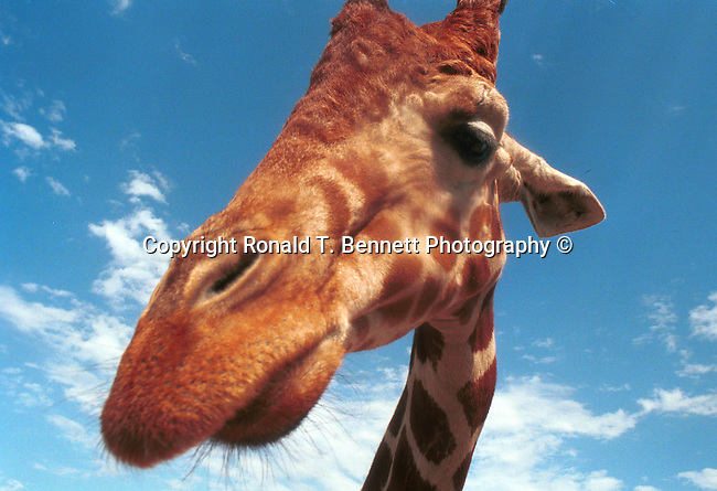 Giraffe tallest land animal artiodactyla giraffidae giraffa  camelopardalis ruminant horns ossicones camouflage body, Giraffe camelopardalis, Fine Art Photography by Ron Bennett, Fine Art, Fine Art photography, Art Photography, Copyright RonBennettPhotography.com © Fine Art Photography by Ron Bennett, Fine Art, Fine Art photography, Art Photography, Copyright RonBennettPhotography.com ©