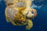 A pair of mating Loggerhead Sea Turtles (Caretta caretta) in Palm Beach, Florida, USA, Atlantic Ocean Approximately half of the world's population of Loggerheads (20k) call Florida home.