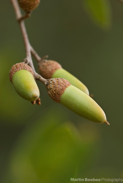 Acorns of interior live oak (Quercus wislizenii), California