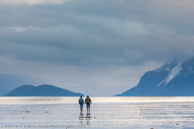 Bird watchers walk amidst flocks of western sandpipers on the tidal flats of Hartney bay. Chugach mountains, Orca Inlet, Prince William Sound, southcentral, Alaska.