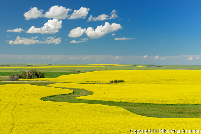 Canola crop in bloom, Strathmore, Alberta, Canada