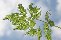 Wiesen-Kerbel, Wiesenkerbel, gefiedertes Blatt, Fiederblatt, Blätter, Anthriscus sylvestris, wild chervil, wild beaked parsley, keck, Queen Anne's lace