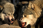Timber or Grey Wolf, Canis lupus, Minnesota, USA, controlled situation, on kill showing aggresive behaviour, growling, snarling, baring teeth, feeding, eating, predation, bloody.USA....